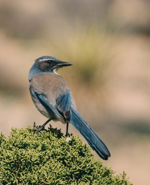 joshua_tree_meaning_blue_bird