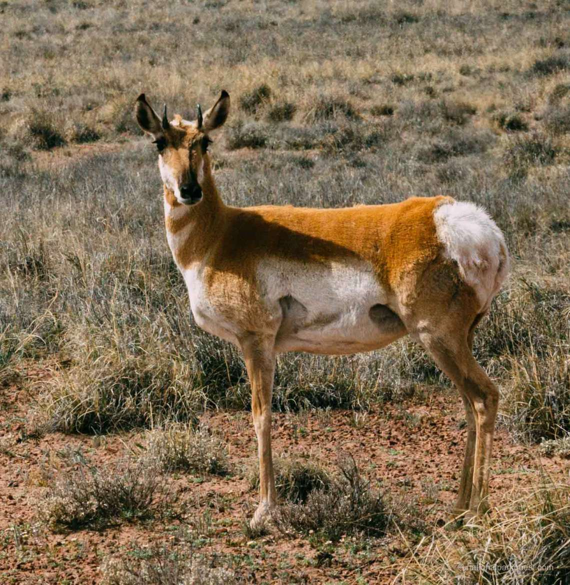 petrified_forest_national_park_voice_echo_deer