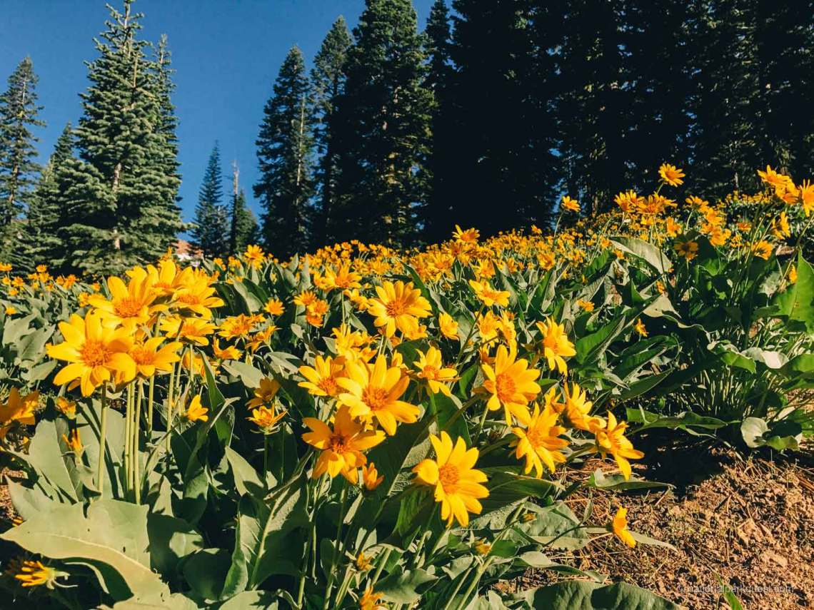 underrated_wonder_lassen_volcanic_park_flowers