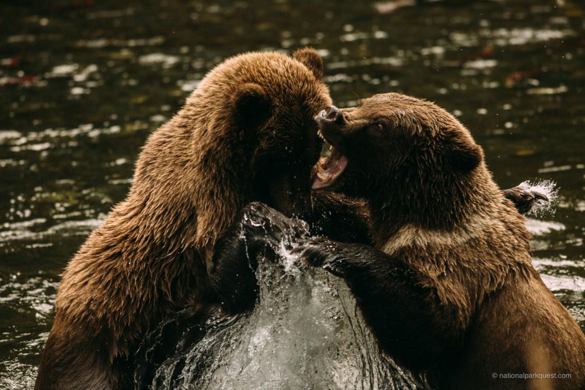 Alaska_Bears