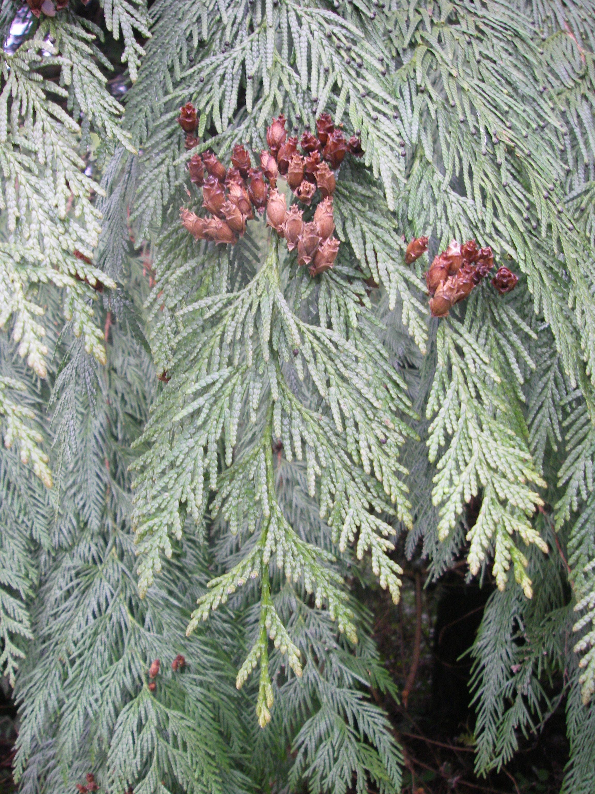 Fullsize Of Southern Red Cedar