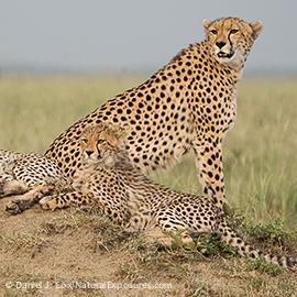 D909422 Cheetah