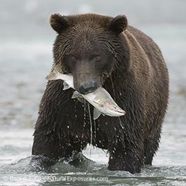 Alaskan Brown Bear (Ursus middendorffi) fishing in Katmai National Park, Alaska.