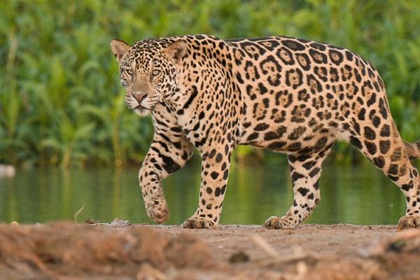 Photo for 2018 Brazil Pantanal Jaguar Wildlife Photo Expedition