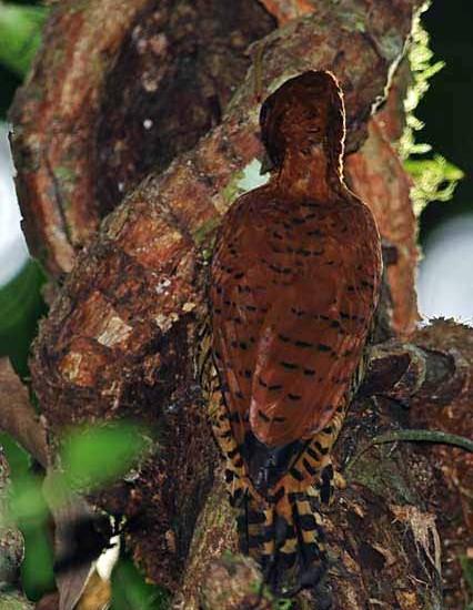 Cinnamon Woodpecker