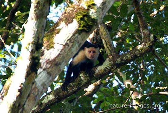 Capuchin monkey tree
