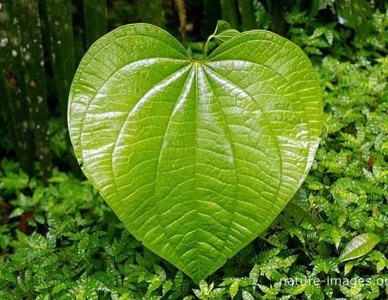 Huge green heart shaped leaf