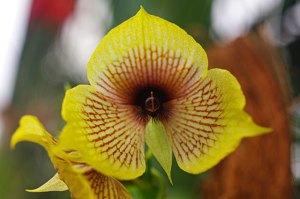Telipogon Orchids