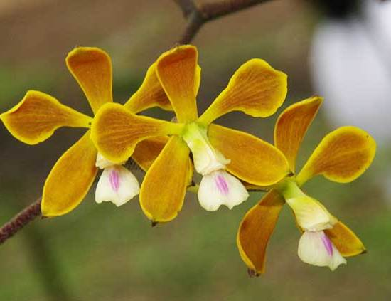 Yellow  Orchids Picture