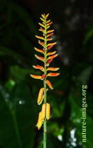 Flower or the Aloe vera plant