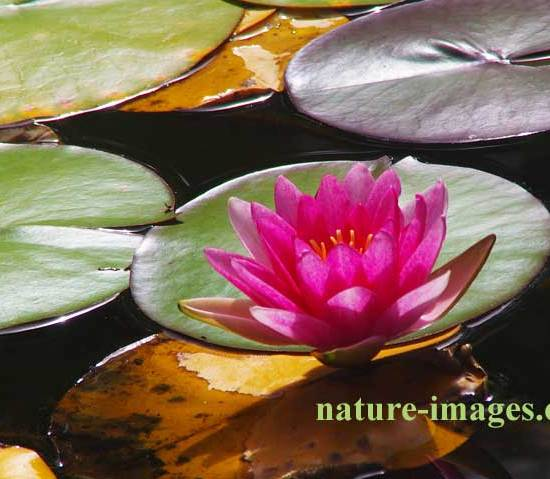 Aquatic plant with lotus flower
