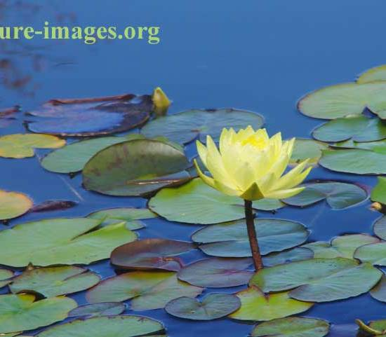 Aquatic plant with yellow flower