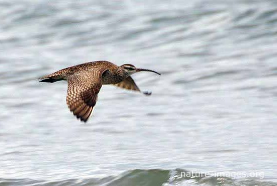 Whimbrel BIF In Flight