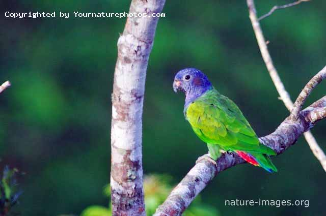 Blue Headed Parrot