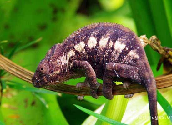 Panther chameleon femal