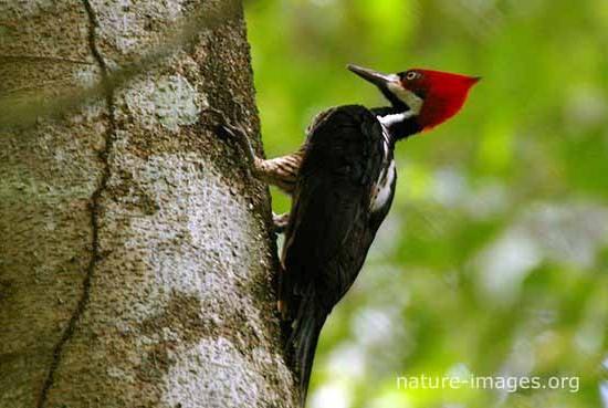 Crimson-Crested-Woodpecker