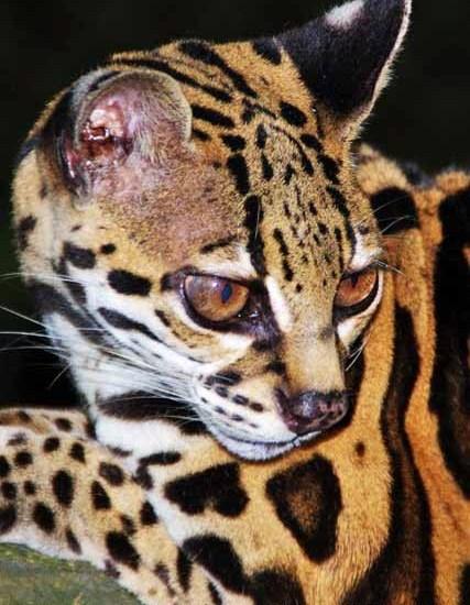 Ocelot Photo Panama