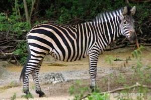 Zebra photo