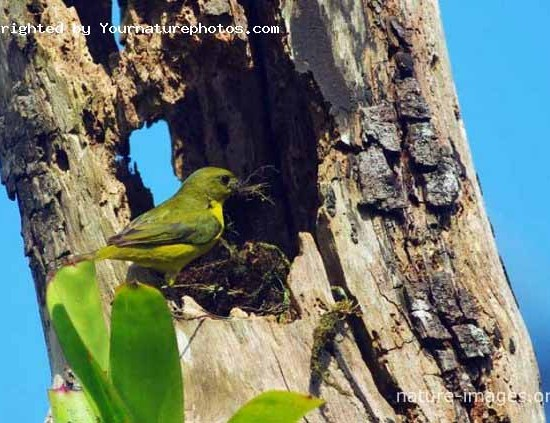 Thick-billed euphonia nest