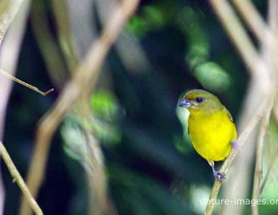 Thick-billed euphonia female