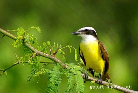 Great Kikadee