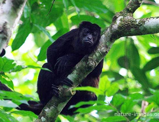 golden-mantled howling monkey