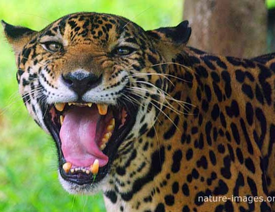 Jaguar big jaws
