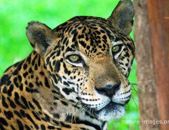 Jaguar Photo taken in Panama