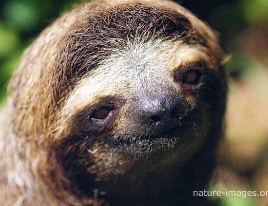 three-toed sloth portrait photo