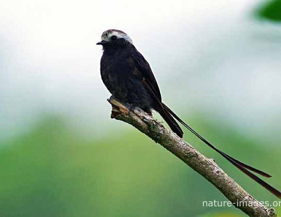Long tailed Tyrant