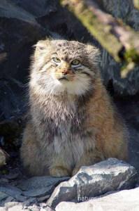 Pallas' Cat - Manul