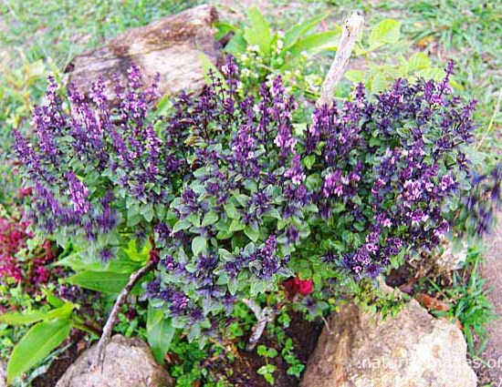 Purple Basil Photo