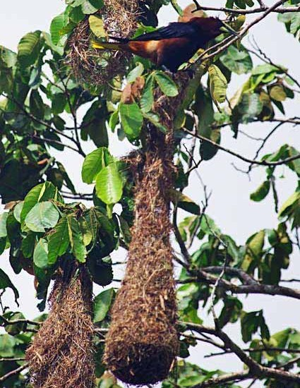 Chestnut-headed oropendola's hanging woven nest of fibres and vines