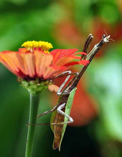 praying mantis flower