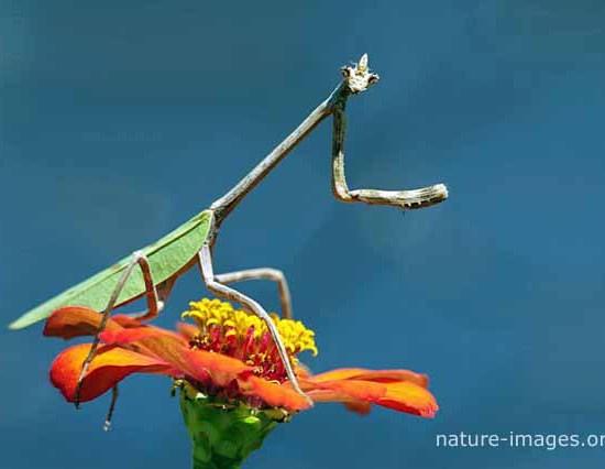 praying mantis flower