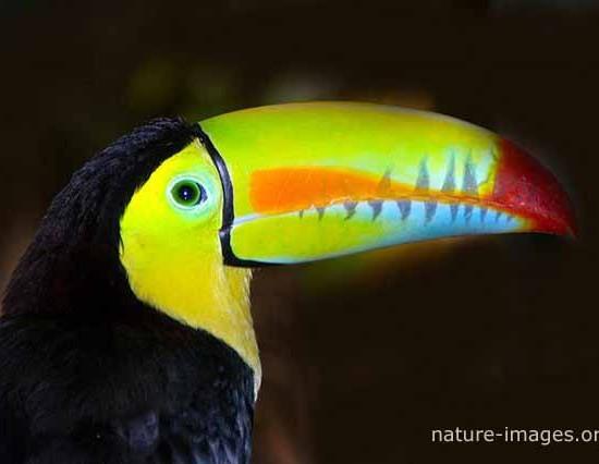 Rainbow-billed toucan