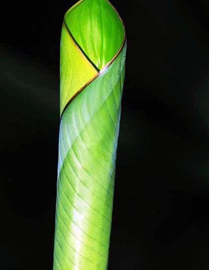 Rolled Leaf