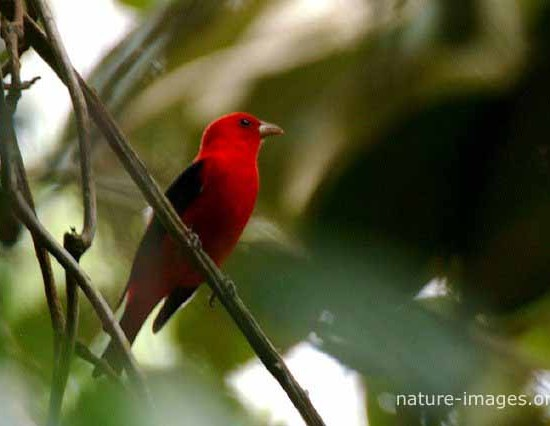 Scarlet Tanager Panama