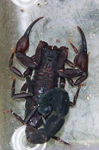 Black Scorpion Panama