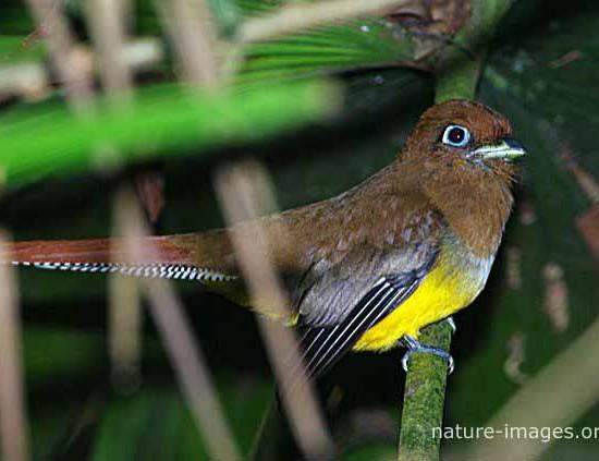 Trogon Female Bird