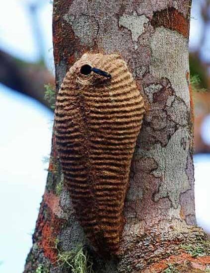 Huge Wasp Nest