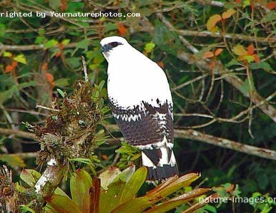 White Hawk