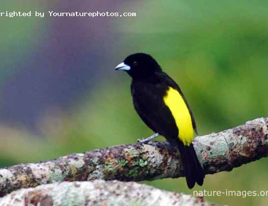 Yellow Tanager Panama