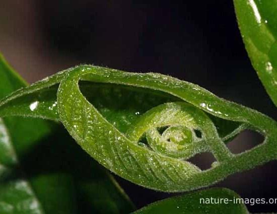 New ylang leaf