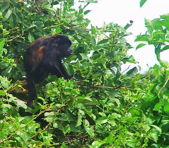 Mantled howler monkey (Alouatta palliata)