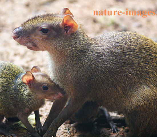 Agouti female with young