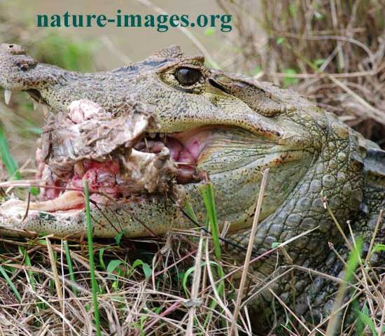 Spectacled caiman eating meat