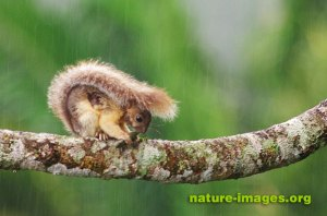 Variegated squirrel in the rain