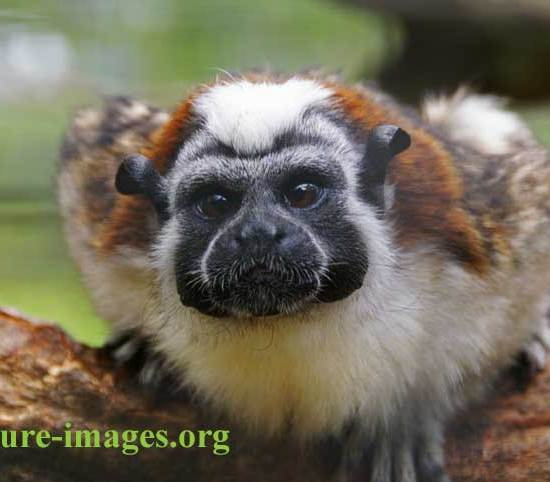 rufous-naped tamarin close up portrait