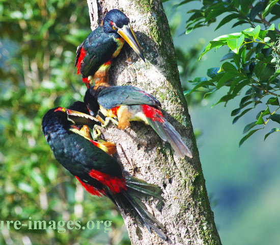 Flok of Collared Aracaries